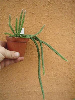 Selenicereus grandiflorus (Královna noci) - 2