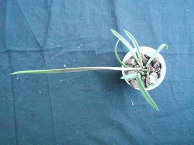 Brassavola nodosa - 2