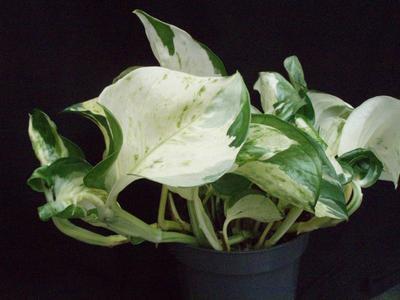 Scindapsus pinnatus 'Happy Leaf' - 2