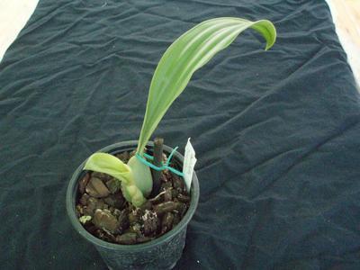 Pholidota sinensis - 2