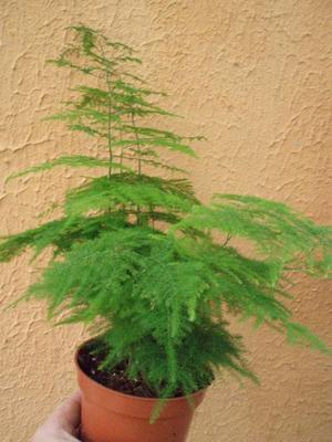 Asparagus setaceus - 2
