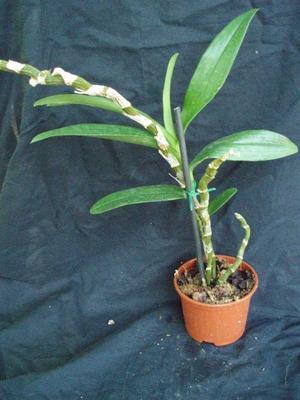 Dendrobium Chian-Tzy Darumanes 'Mona Lisa' - 2