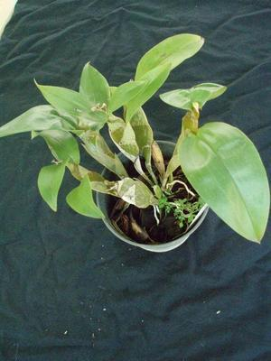 Dendrobium lamellatum - 2