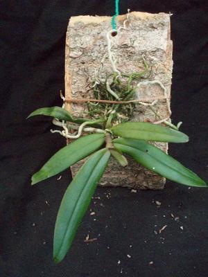 Rhipidoglossum rutilum - 2