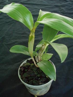 Dendrobium palpebrae - 2