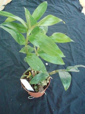 Dendrobium cumulatum - 2