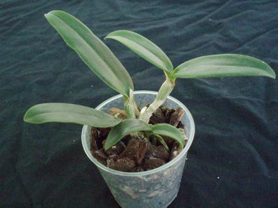 Cattleya amethystoglossa - 2