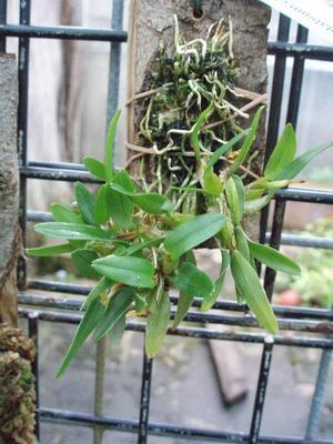 Diplocaulobium chrysotropis - 2