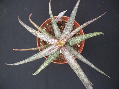 Aloe bakeri - 2