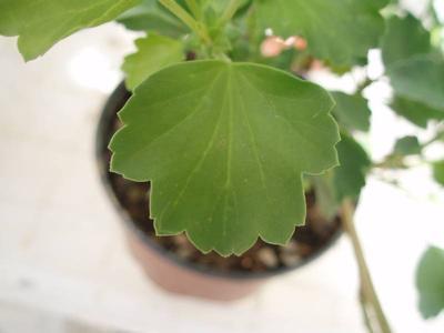 Pelargonium acetosum - 2