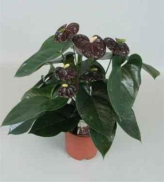 Anthurium andreanum 'Black Queen' - 2