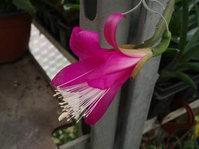 Chiapasia nelsonii - velká rostlina - 2