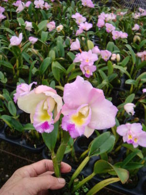 Blc.'Chian-Tzy Year's Fantasy' - 2