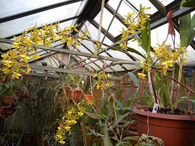 Epidendrum stamfordianum - menší rostliny - 2