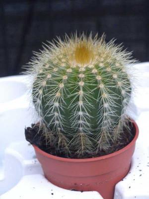 Eriocactus magnificus - 2