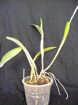 Epidendrum oerstedii - 2