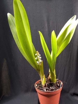 Eria hyacinthoides - 2