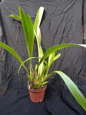 Eria iridifolia - 2