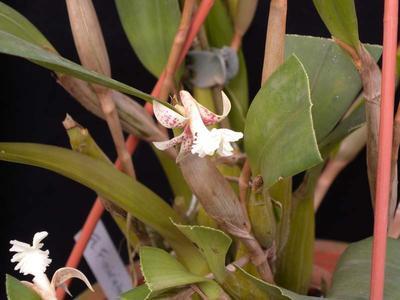 Flickingeria fimbriata - 2