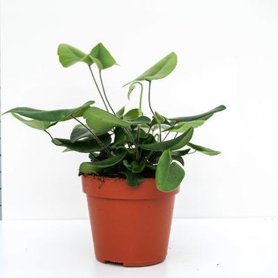 Hemionitis arifolia - 2