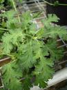 Pelargonium ionidifolium - 2/2