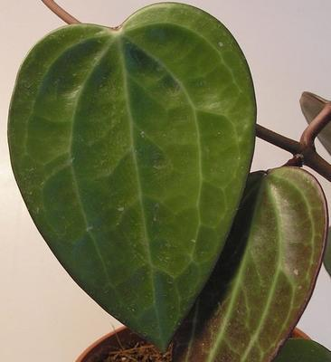 Hoya macrophylla - 2