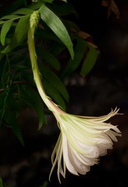 Marniera chrysocardium - velká rostlina - 2