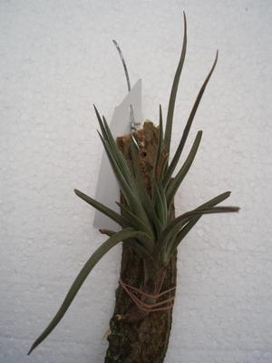 Tillandsia dorotheae (větší) - 2