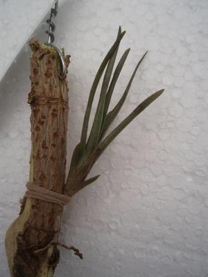 Tillandsia dorotheae (menší) - 2