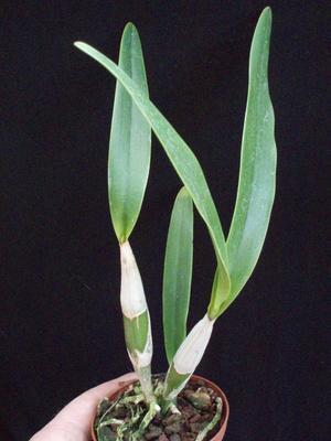 Epidendrum bracteolatum - 2