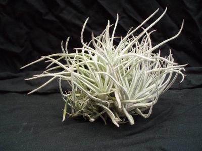 Tillandsia reducta (velký trs) - 2
