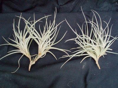 Tillandsia bandensis (trs) - 2