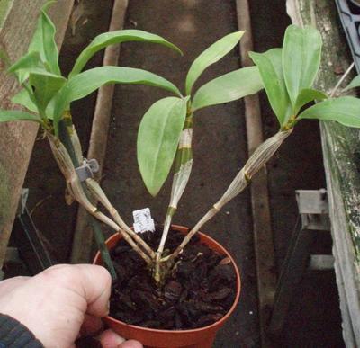 Dendrobium thyrsiflorum - 2