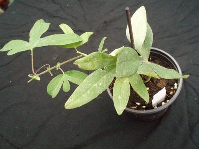 Passiflora 'Constance Elliot' - 2