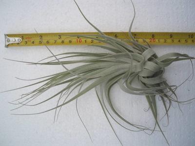 Tillandsia gardnerii (velká) - 2