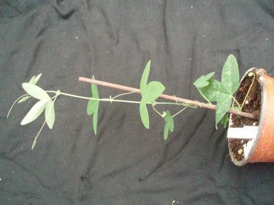 Passiflora 'Purple Haze' - 2