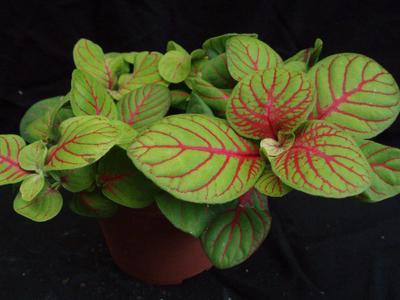 Fittonia verschaffeltii (světlezelená s červenou žilkou) - 2