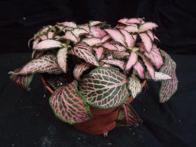 Fittonia verschaffeltii (růžová) - 2