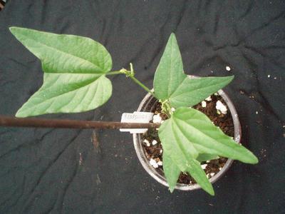 Passiflora capsullaris 'Vanilla Cream' - 2
