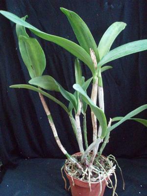 C. granulosa x C. skinneri - 2