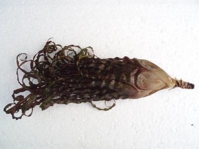 Racinea crispa f. black - 2