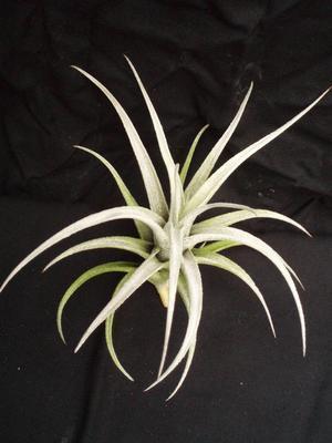 Tillandsia mitlaensis v. tulensis - 2