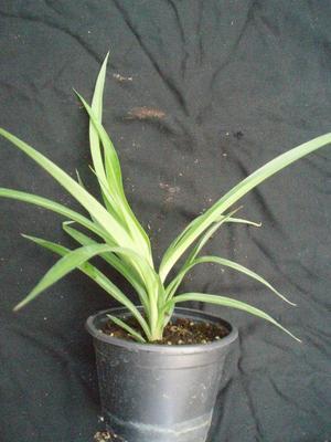 Chlorophytum (zelené) menší - 2