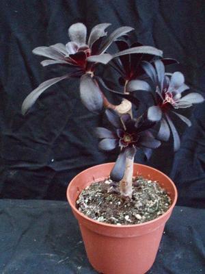 Aeonium arborescens 'Black Pearl' - 2