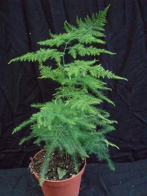Asparagus plumosus - 2