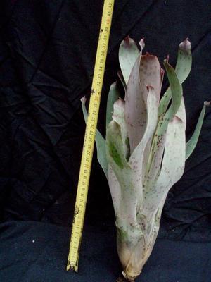 Vriesea guttata - 2