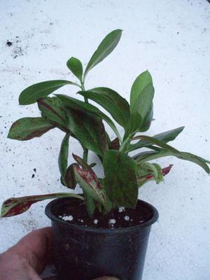 Synadenium grantii, 3 rostliny - 2