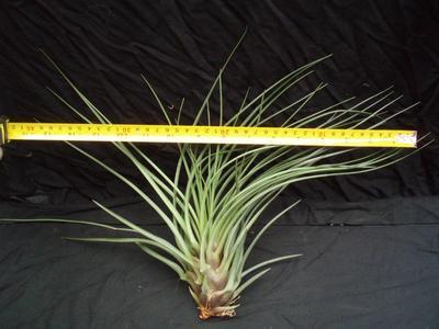 Tillandsia crista-gallii (velká) - 2