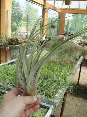 Tillandsia fasciculata (velká) - 2