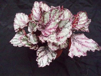 Begonia 'Marble' - 2